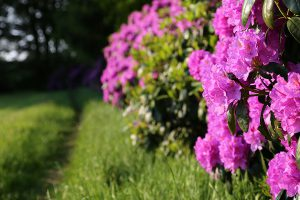 img_9110-oostermaet-rododendron-900x600