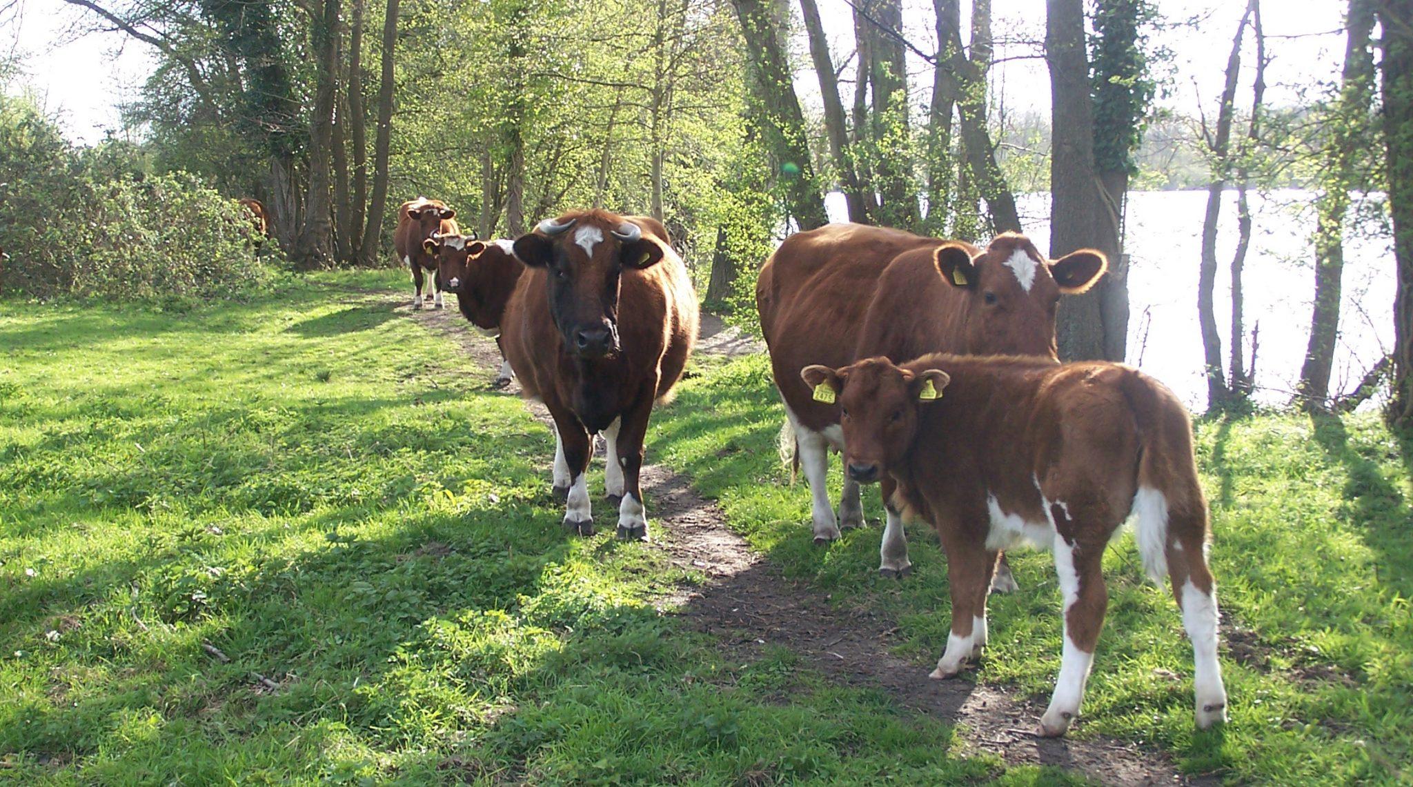 De biologische Brandrode runderen van Klein Swormink grazen op natuurlijke graslanden rond Deventer.